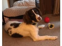 English Springer Puppy