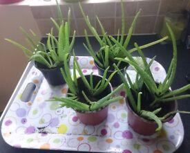 Healthy Aloe Vera plant in pot.