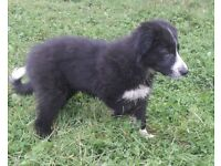 Collie x | Dogs & Puppies for Sale - Gumtree