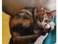 Gorgeous kitten, mixed breed, girl, 3 months