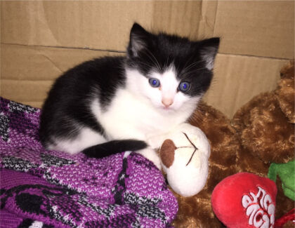 Beautiful baby Russian blue x rag doll kittens