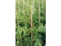 Hedging forsale lylandi 3ft high