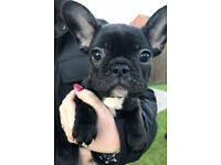 French Bulldog Puppies for sale - now 9 weeks old and ready to leave for their forever homes.