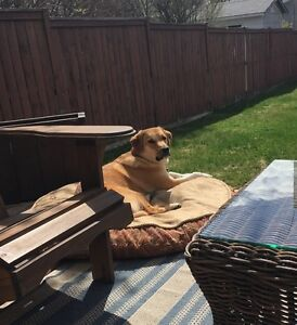 Looking for a loving home for a 1 year old lab cross