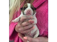 Oldtyme x American bulldog pups