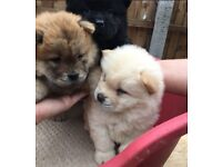 Beautiful golden male chow chow for sale