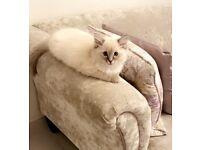 Ragdoll Kitten