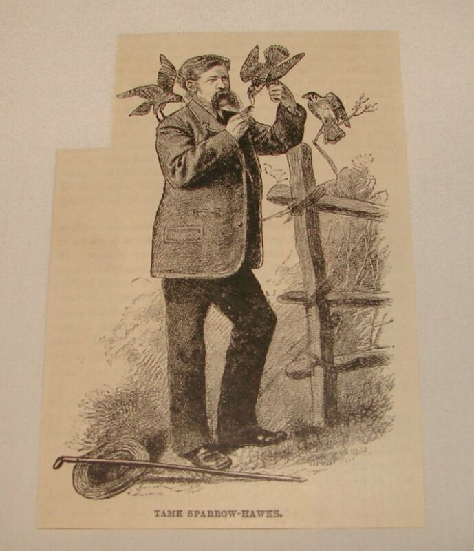 1886 magazine engraving ~ TAME SPARROW-HAWKS