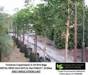 Tuckeroo Cupaniopsis Feature Shade Tree Plant Mudgeeraba Gold Coast South Preview