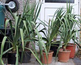 TROPICAL HARDY STUNNING FLOWERING LARGE YUCCA PLANT ONLY £10 EACH, CAN DELIVER