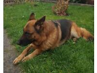Top Quality German Shepherd female
