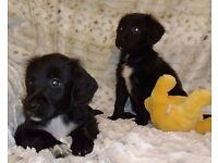 Gorgeous Springador Puppies age 8 weeks