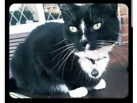 Missing black & white cat in Gornal/ Dudley area
