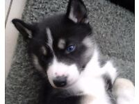 Siberian Husky Dogs Puppies For Sale Gumtree