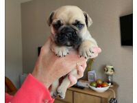 French Bulldog Male for sale IKC