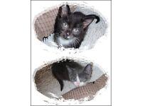 Lovely Black Male and Grey Female Kittens