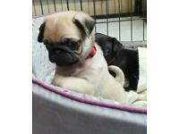 Kc pug puppies now ready