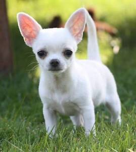 Looking for a smooth coat Chihuahua ready for November/ December Perth Perth City Area Preview