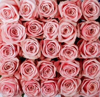 """Fresh Cut Pink Roses / 100 stems / 20"""" tall / Grower Direct / Quality Guaranteed"""