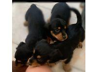 Dachshund x puppies