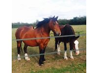 Powerful 15hh 8 year old Welsh Cob Mare