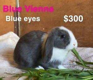 Quality purebred mini lop baby rabbits Vienna