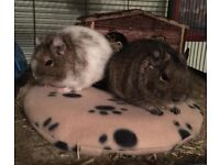 2 Female Degus with Cage & Wheel approx 1 Year Old