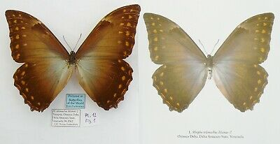 MORPHO TELEMACHUS LILIANAE MALE FROM VENEZUELA (pictured in Butterflies of the W