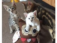 Bengal Spotty & Snow Mink Spotted Bengal Kittens