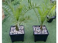 Pair of Canary date palms with free local delivery