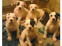 4 Johnson's American bulldog x American bulldog father for sale £400