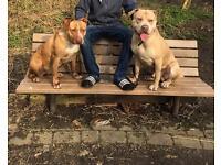 Staff cross puppies