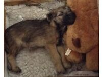 Terrier | Dogs & Puppies for Sale - Gumtree