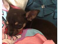 Girl Chihuahau puppy