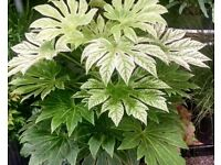 Fatsia Japonica speckled leaf form in 5 Litre Tubs For Sale.