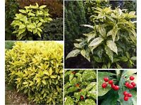 3 x Young Spotted Laurel Evergreen Shrubs in Pots - £10 - Glenrothes