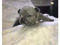 BLUE FRENCH BULLDOG PUPS FOR SALE (Designerbullz Essex)