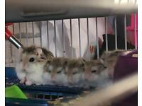 Roborovski hamsters dwarf hamsters ready