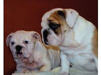 British bulldog females !!!