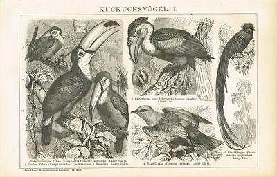 Tafel KUCKUCKSVÖGEL / TUKAN / TROGON 1894 Original-Holzstich