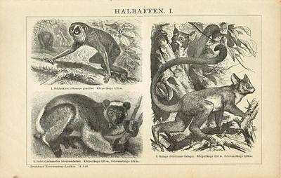 Tafel HALBAFFEN / LORI / INDRI / GALAGO 1894 Original-Holzstich