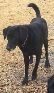 """Adult Female Dog - Black Labrador Retriever: """"JOEE"""""""