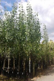 Poplar Advanced trees in 100L bags