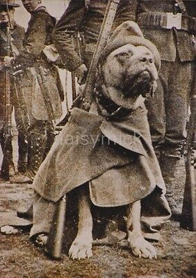US Army Dog Jack Brutus in Coat Spanish American War 1898 7x5 Inch Reprint Photo