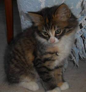 Lovely Kitten - Free to Good Home Moore Creek Tamworth Surrounds Preview