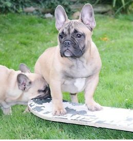 Two Absolutely Stunning French Bulldog Boys