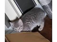 Persian bengal cross kittens