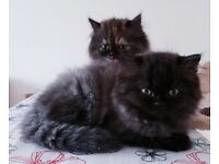 Outstanding Persian kittens looking for homes