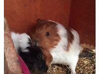 Peruvian and sheltie Guinea pigs