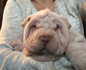 Bags packed and ready to leave (Shar Pei puppy)